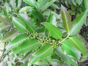 ilex chestnut