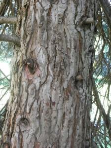 sequoia dendron giganteum