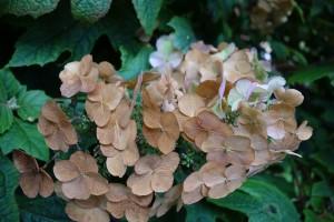 hydrangea-paniculata-dsc05190