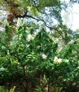hydrangea-paniculata-dsc05384