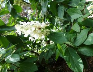hydrangea-paniculata-dsc05386