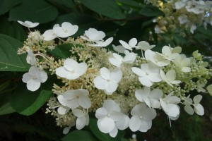 hydrangea-paniculata-dsc05387