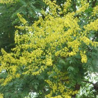 koelreuteria paniculata DSC09332