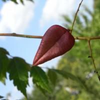 koelreuteria-paniculata RIMG0010-200x200