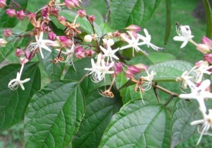 clerodendron trichotomum RIMG0145