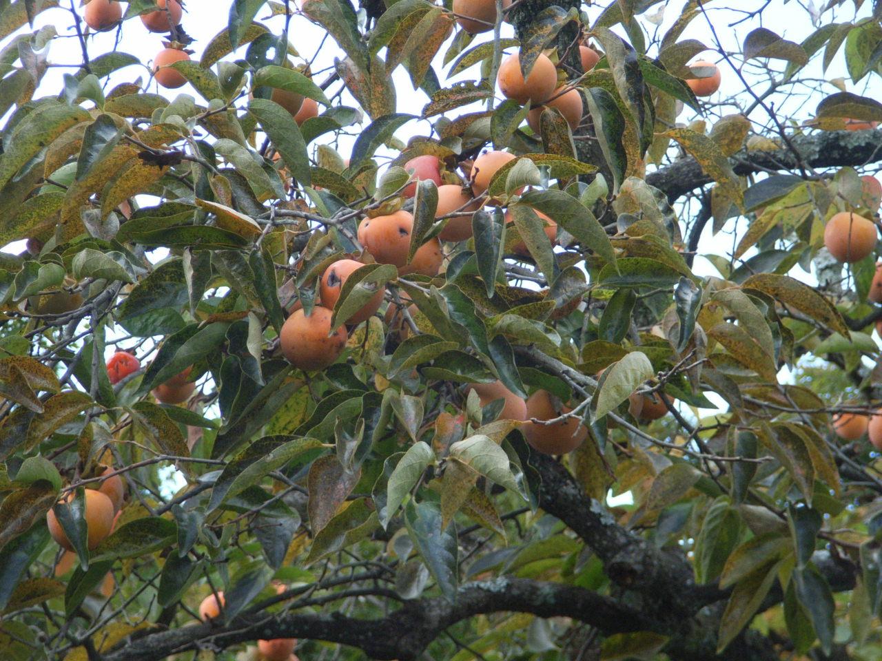 Kaki r0012573 ma botanique - Comment s appelle l arbre du kaki ...