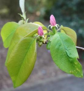 pseudocydonia sinensis DSC01011