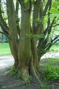 zelkova carpinifolia DSC03478