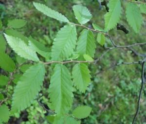 zelkova carpinifolia DSC03479