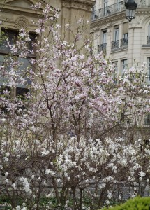 magnolia stellata lyon DSC00778