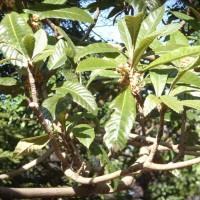 Eriobotrya japonica R0010591