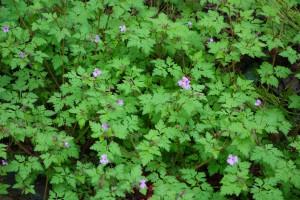geranium robertianum DSC01135