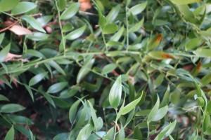 danae racemosa DSC03223