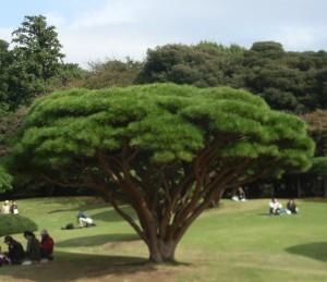 Shinjuku  pinus densiflora R0013133