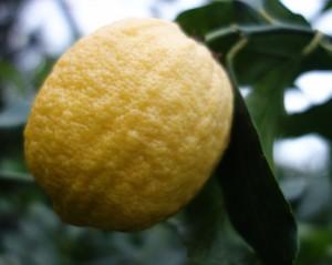 citrus limon caniculata