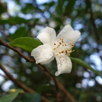 camellia fraterna lyon