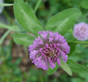 trifolium pratense DSC01387