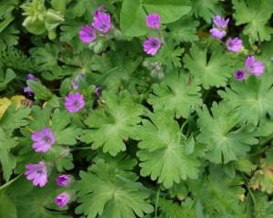 geranium molle DSC01085