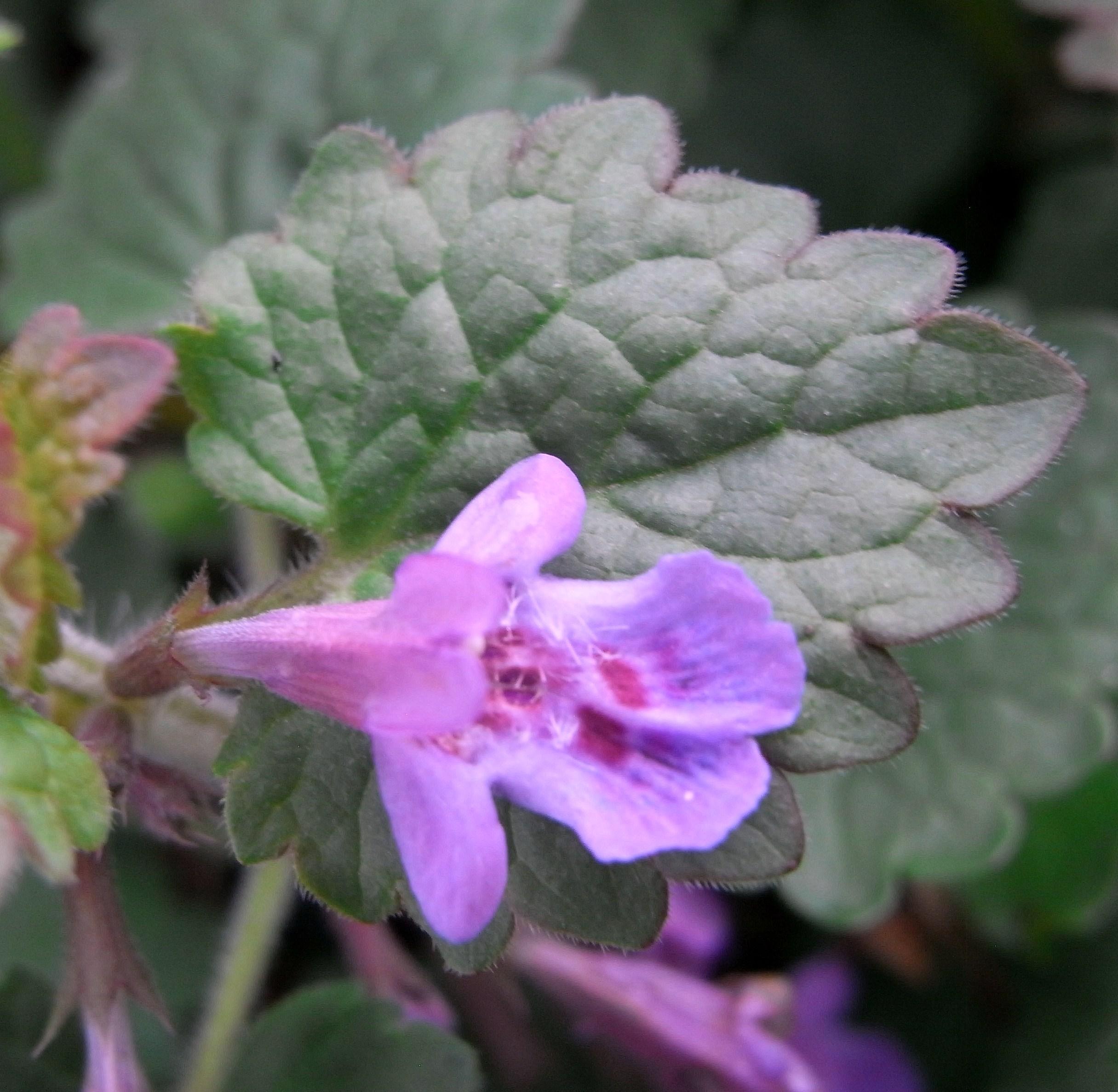 Lierre terrestre rondelette ma botanique - Comment se debarrasser du lierre ...