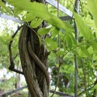 wisteria frutescens DSC02971