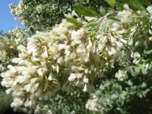 baccharis-halimifolia-r0012260