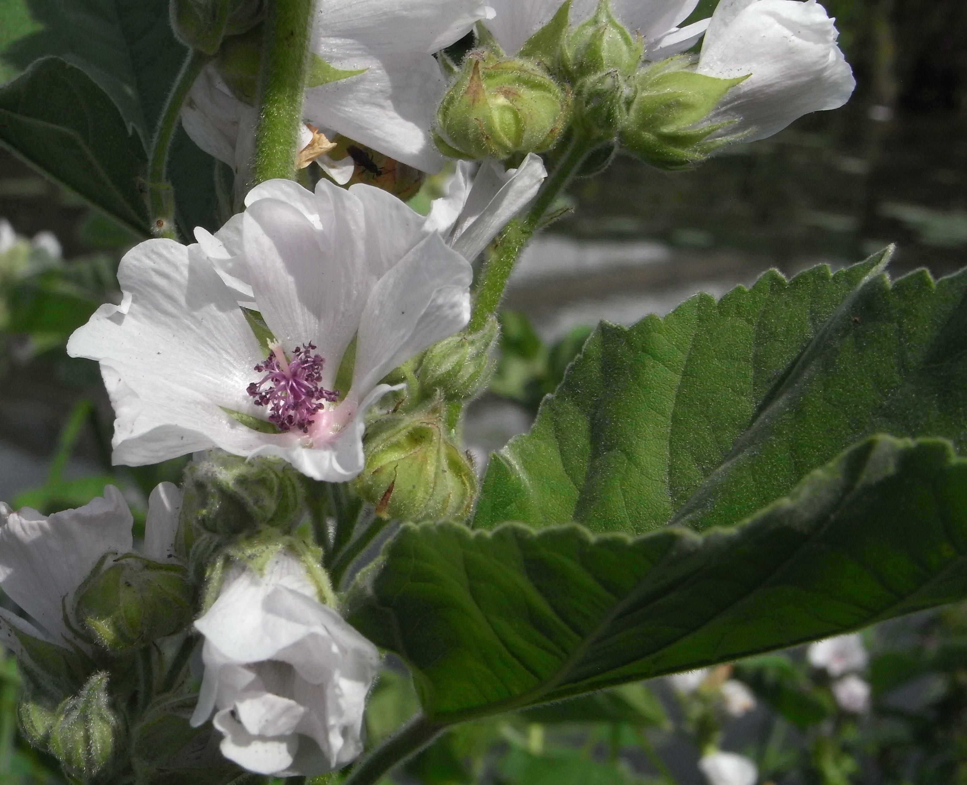 ** blauglockenbaum paulonia tomentosa ** Hiver Rude gartenbaum hautes en couleur