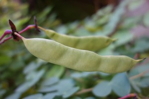 bauhinia yunnanensis DSC03193