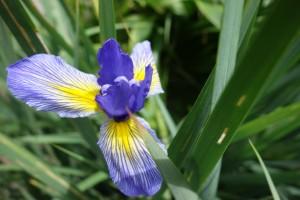 iris musulmanica DSC05377