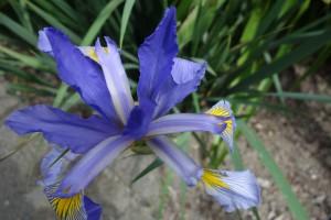 iris spuria musulmanica DSC05376