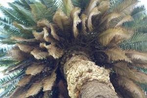 phoenix-canariensis-dsc04162
