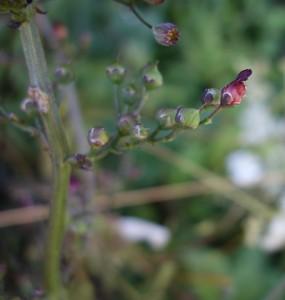 scrophularia auriculata DSC04555