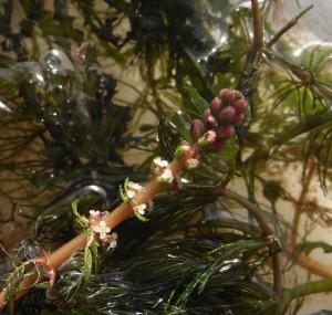 myriophyllum verticillum