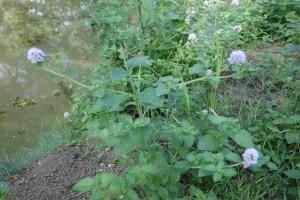 mentha aquatica DSC09640