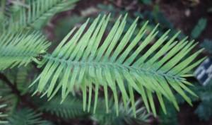 wollemia nobilis DSC03054