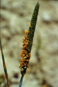 alopecurus aequalis bbbbbbclbdckhkh008