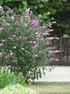 buddleja arbre a papillons