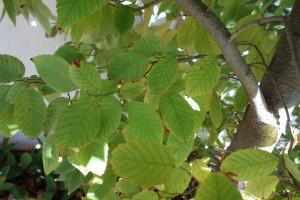 carpinus japonicus DSC03197