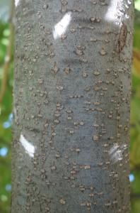 carpinus japonicus DSC03199