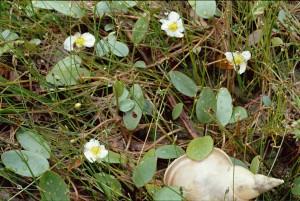 luronium natans bbbbbbclbdckhkh010