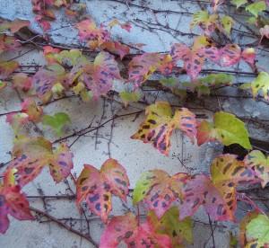 parthenocissus tricuspidata 100_0225