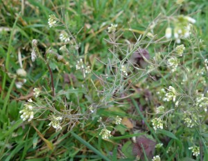 arabidopsis DSC02830