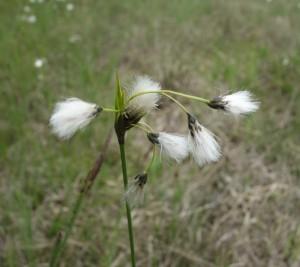 eriophorum latifolium DSC08506