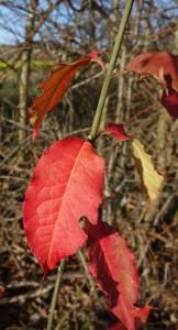 euonymus europaeus DSC02457
