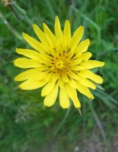tragopogon pratensis DSC08038