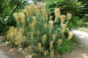 euphorbia characias DSC09037