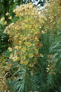 euphorbia characias DSC09038