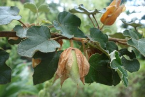 fremontodendron DSC09004