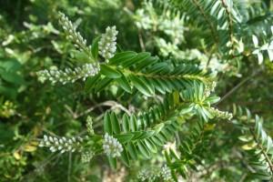 hebe buxifolia DSC09030