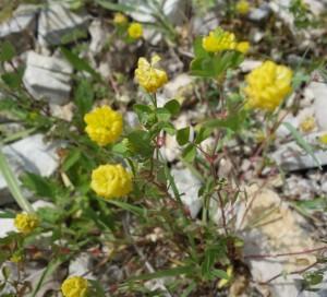 trifolium campestre DSC08695