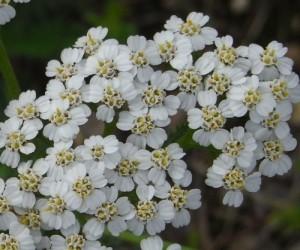 achillea millefolium RIMG0019